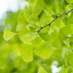 イチョウ葉エキスの効果とサプリメントの選び方